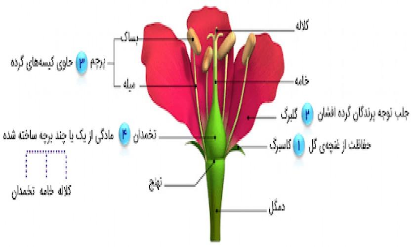 تولید-مثل-در-نهاندانگان-گفتار-دوم-پارت-چهارم-تولید-سلول-جنسی-در-گیاهان